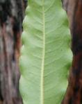 Suesser Pittosporum Blatt gruen Pittosporum undulatum 02