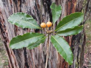 Suesser Pittosporum Frucht braun gelblich Pittosporum undulatum 01