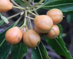 Suesser Pittosporum Frucht braun gelblich Pittosporum undulatum 06