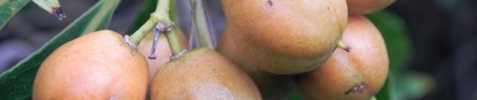 suesser-pittosporum-blatt-gruen-frucht-gelblich-pittosporum-undulatum