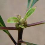 Bild: Süßer Pittosporum Blatt grün Frucht gelblich Pittosporum undulatum