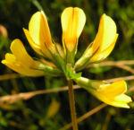 Suessholz Tragant Bluete gelb Astragalus glycyphyllos 02