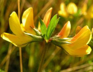 Suessholz Tragant Bluete gelb Astragalus glycyphyllos 03