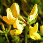 Suessholz Tragant Bluete gelb Astragalus glycyphyllos 04