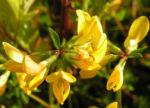 Suessholz Tragant Bluete gelb Astragalus glycyphyllos 05