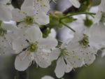 Suesskirsche selbstfruchtend Bluete weiss Prunus Lapins 20