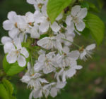 Suesskirsche selbstfruchtend Bluete weiss Prunus Lapins 25