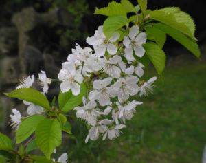 Suesskirsche selbstfruchtend Bluete weiss Prunus Lapins 26