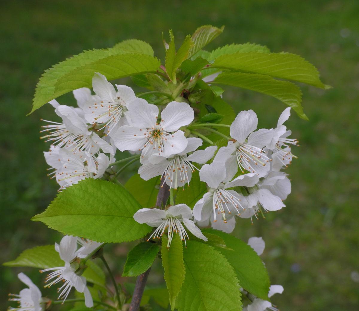 Suesskirsche selbstfruchtend Bluete weiss Prunus Lapins