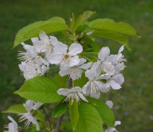 Suesskirsche selbstfruchtend Bluete weiss Prunus Lapins 28