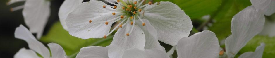 Anklicken um das ganze Bild zu sehen Süßkirsche selbstfruchtend Blüte weiß Prunus lapins