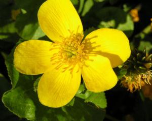 Sumpf Dotterblume Bluete gelb Caltha palustris 03