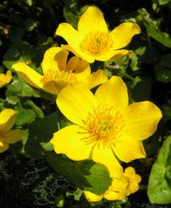 Sumpf Dotterblume Bluete gelb Caltha palustris 04