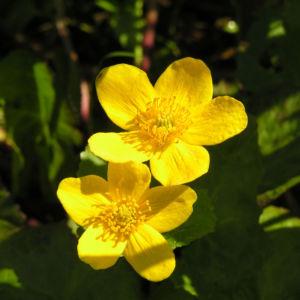 Sumpf Dotterblume Bluete gelb Caltha palustris 06