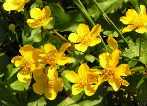 Sumpf Dotterblume Bluete gelb Caltha palustris 07