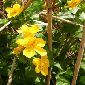Sumpf Dotterblume Bluete gelb Caltha pulustris 01