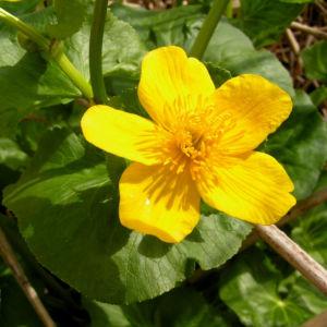 Sumpf Dotterblume Bluete gelb Caltha pulustris 04