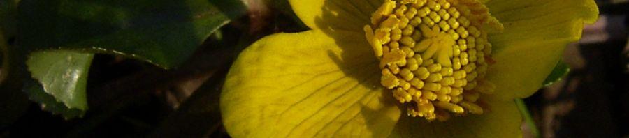 Anklicken um das ganze Bild zu sehen Sumpfdotterblume gelbe Blüte Caltha palustris