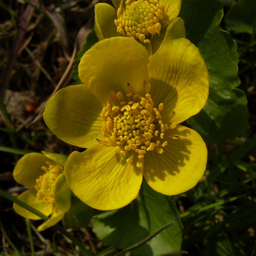 Sumpf Dotterblume gelbe Bluete Caltha palustris