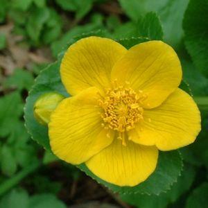 Sumpf Dotterblume Caltha palustris 01