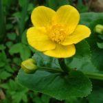 Sumpf Dotterblume Caltha palustris 03