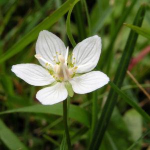 Sumpf Herzblatt Bluete weiss Parnassia palustris 01