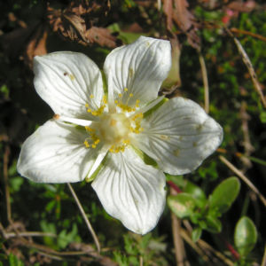 Sumpf Herzblatt Bluete weiss Parnassia palustris 02