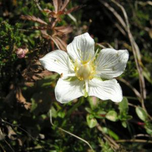 Sumpf Herzblatt Bluete weiss Parnassia palustris 04