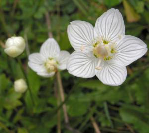 Sumpf Herzblatt Bluete weiss Parnassia palustris 07