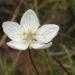 Zurück zum kompletten Bilderset Sumpf Herzblatt Blüte weiß - Parnassia palustris