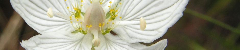 sumpf-herzblatt-bluete-weiss-parnassia-palustris