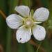 Zurück zum kompletten Bilderset Sumpf-Herzblatt Kraut Blüte weiß Parnassia palustris