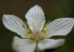 Sumpf Herzblatt Kraut Bluete weiss Parnassia palustris 04