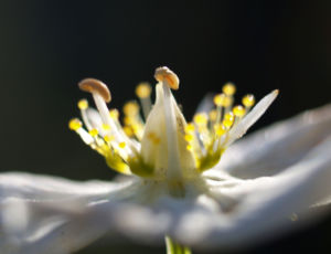 Sumpf Herzblatt Kraut Bluete weiss Parnassia palustris 10