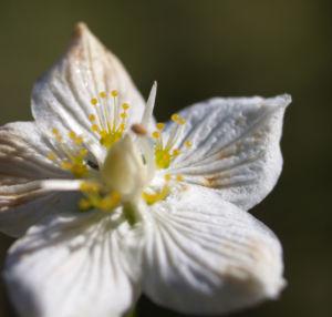Sumpf Herzblatt Kraut Bluete weiss Parnassia palustris 13