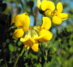 Sumpf Hornklee Bluete gelb Lotus pedunculatus 08