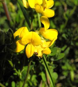 Sumpf Hornklee Bluete gelb Lotus pedunculatus 10