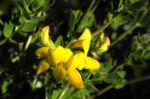 Sumpf Hornklee Bluete gelb Lotus pedunculatus 11