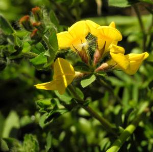 Sumpf Hornklee Bluete gelb Lotus pedunculatus 13
