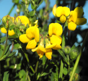 Sumpf Hornklee Bluete gelb Lotus pedunculatus 17