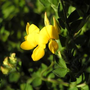 Sumpf Hornklee Bluete gelb Lotus pedunculatus 18