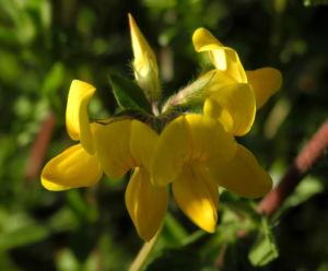 Sumpf Hornklee Bluete gelb Lotus pedunculatus 19