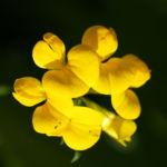 Sumpf Hornklee Bluete gelb Lotus uliginosus 01