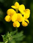 Sumpf Hornklee Bluete gelb Lotus uliginosus 02
