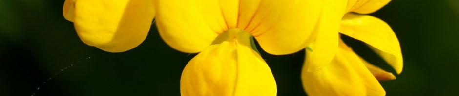 sumpf-hornklee-bluete-gelb-lotus-uliginosus