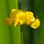 Sumpf Hornklee Bluete gelb Lotus uliginosus 03