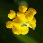 Sumpf Hornklee Bluete gelb Lotus uliginosus 04