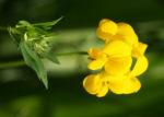 Sumpf Hornklee Bluete gelb Lotus uliginosus 05