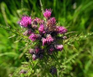 Sumpf Kratzdistel Bluete lila Cirsium palustre 01