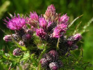 Sumpf Kratzdistel Bluete lila Cirsium palustre 02